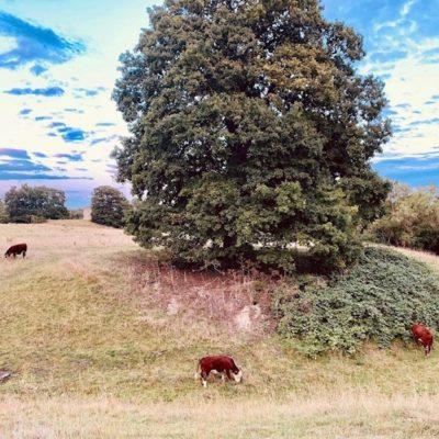 Castle Mound Cows